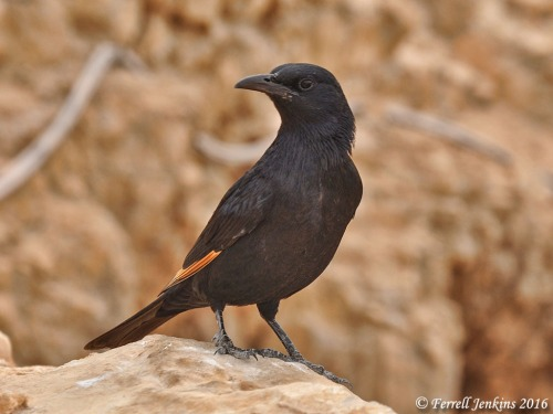 Tristram's Grackle at Masada. Photo by Ferrell Jenkins.
