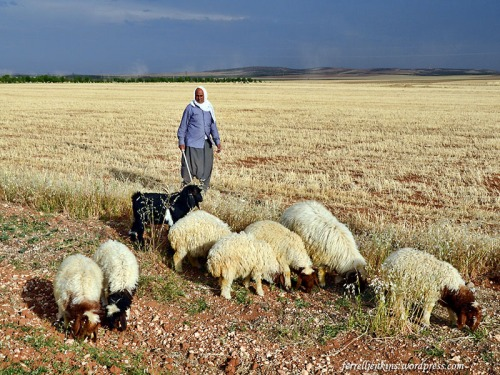 Shepherd with sheep near Carchemish, Turkey. Photo by Ferrell Jenkins.