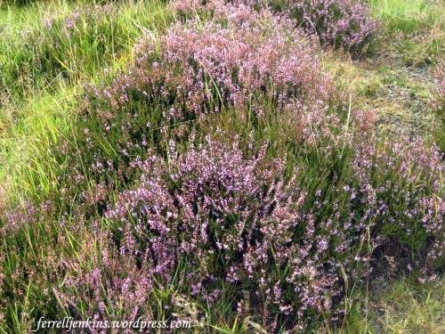 """Heather on the hill"" near Balmoral, Scotland. Photo by Ferrell Jenkins."
