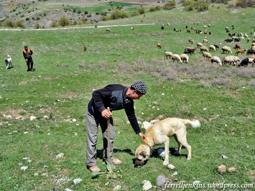 Shepherd at hattusas with his sheepdog. Notice the collar that is specially prepared to protect these dogs from wolves and other wild animals. Photo by Ferrell Jenkins.