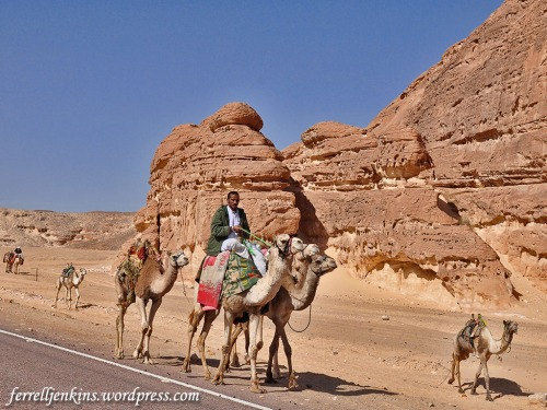 Camel caravan in the Eastern Sinai Peninsula. Photo by Ferrell Jenkins.