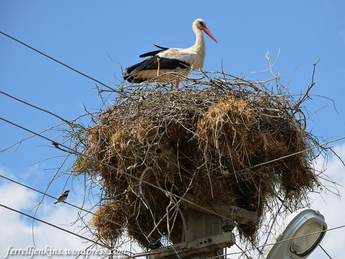 A stork standing on her nest at Kovanlik, Turkey. Photo by Ferrell Jenkins.