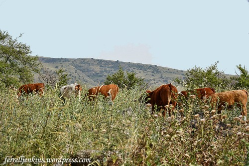 Cows grazing in the Golan Heights, the area known as Bashan in Old Testament times. Photo by Ferrell Jenkins.