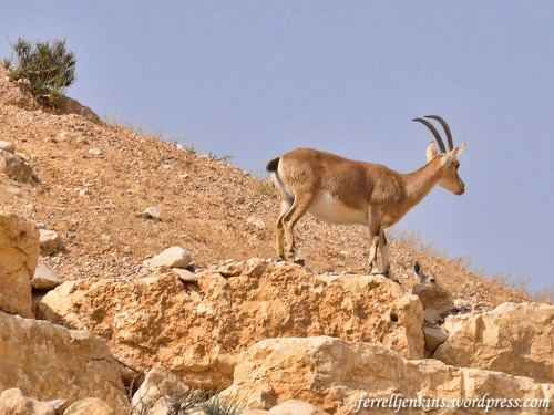 An Ibex in the Negev near Ein Avedat. Photo by Ferrell Jenkins.