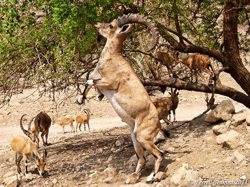 Ibex at En Gedi. Photo by Ferrell Jenkins.