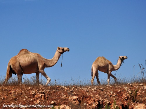 A mother camel and her young calf in Palestine (or West Bank). Photo by Ferrell Jenkins.