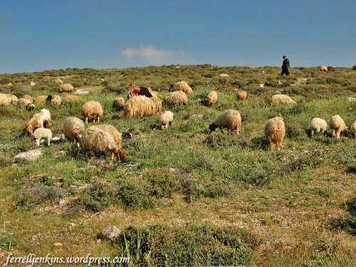 A shepherd with his sheep near Heshbon in Jordan. Photo by Ferrell Jenkins.