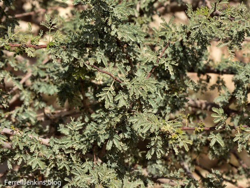 Leaves of the Acacia tortillis in the Arabah. Photo by Ferrell Jenkins.
