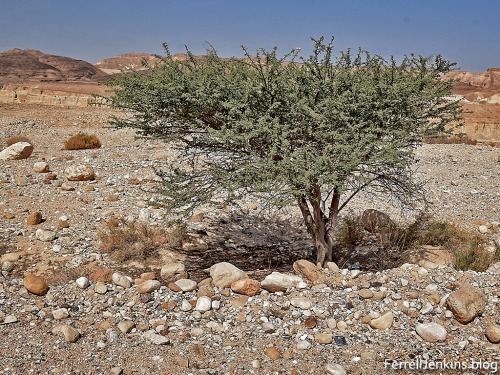 Close view of an Acacia tree in the Arabah. Photo by Ferrell Jenkins.