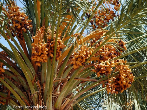 Arabah date palm in August 2008. Photo by Ferrell Jenkins.