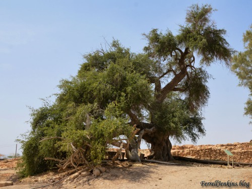 A Jujube tree at Tamar, said by some to be the oldest tree in Israel. Photo by Ferrell Jenkins.