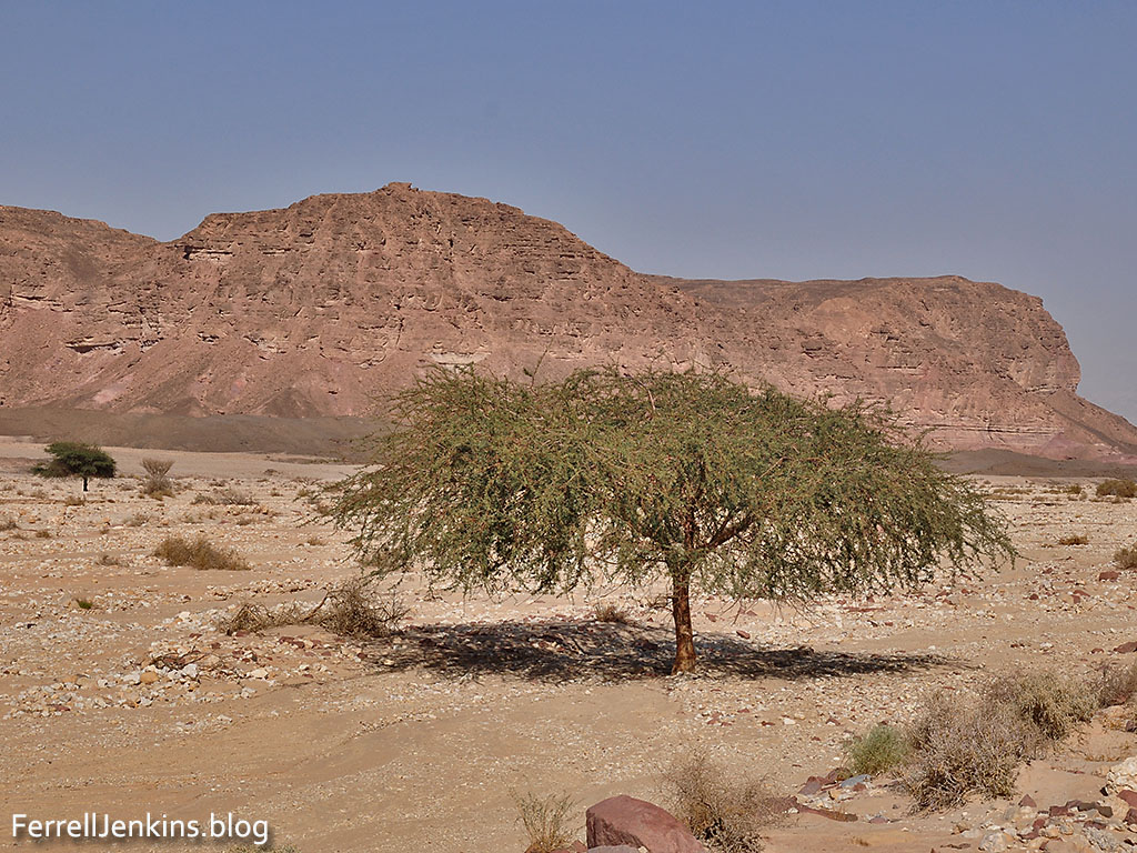 Another Acacia tree growing in one of the wadis of the Timna Valley. Photo by Ferrell Jenkins.