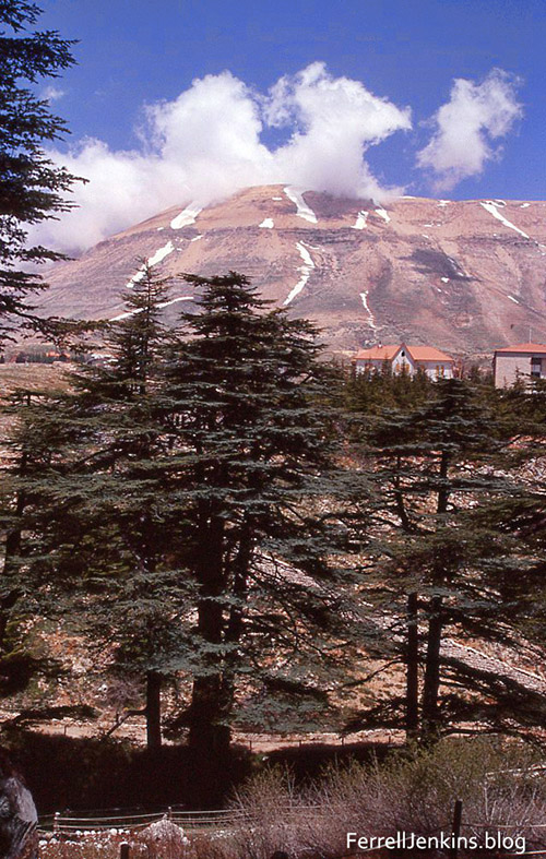 A few of the Cedars of Lebanon at Besherre. ferrelljenkin.blog.