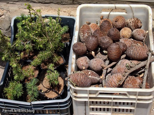 Small twigs and cones from the cedars of Lebanon. ferrelljenkins.blog.