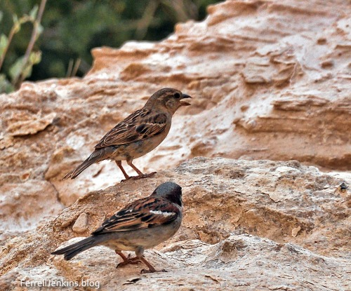 Two sparrows at Ein Avedat in the Negev of Israel. Photo by Ferrell Jenkins.