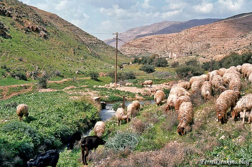 Sheep beside still water in Wadi Farah. FerrellJenkins.blog.