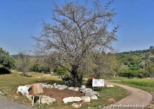 The Atad tree at Neot Kedumim. Photo: ferrell jenkins..blog.