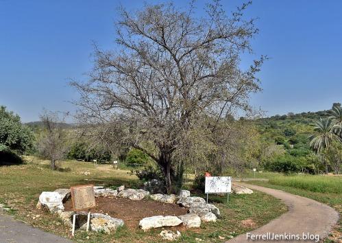 The Atad tree at Neot Kedumim. Photo: ferrell jenkins..blog.