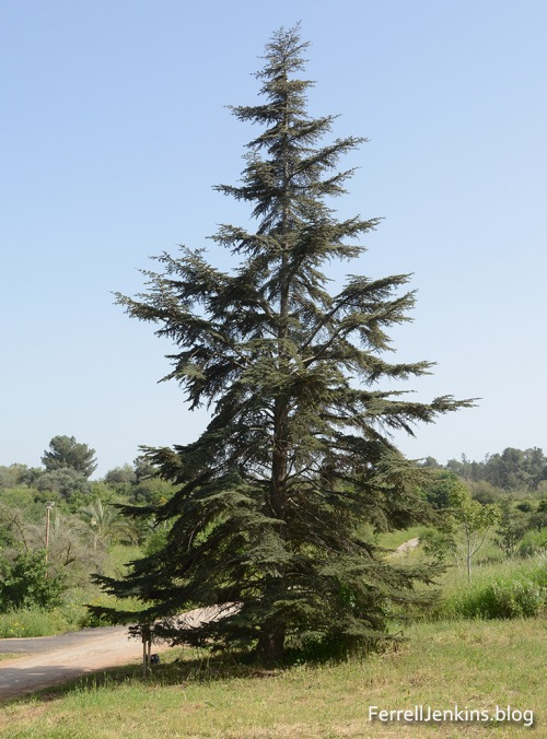 Cedar of Lebanon growing in Neot Kedumim. ferrelljenkinsl.blog.