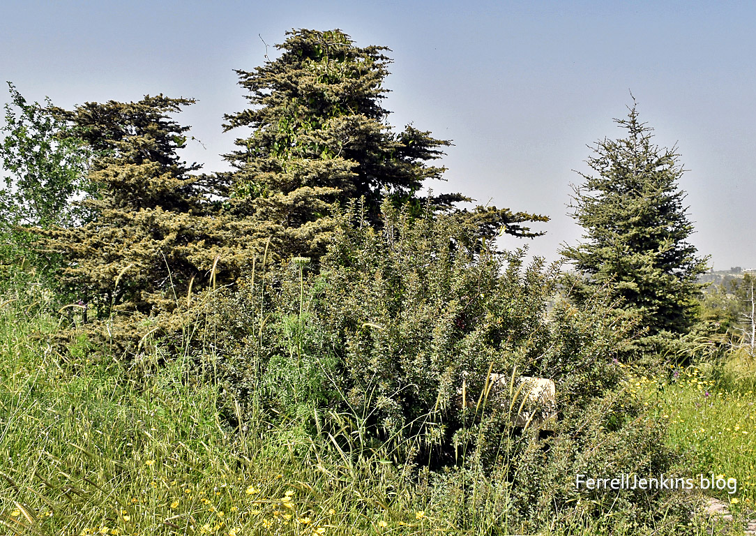 Cedars of Lebanon in Israel. FerrellJenkins.blog.