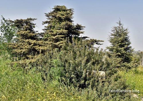 Cedars of Lebanon in Israel. FerrellJenkins.blog.