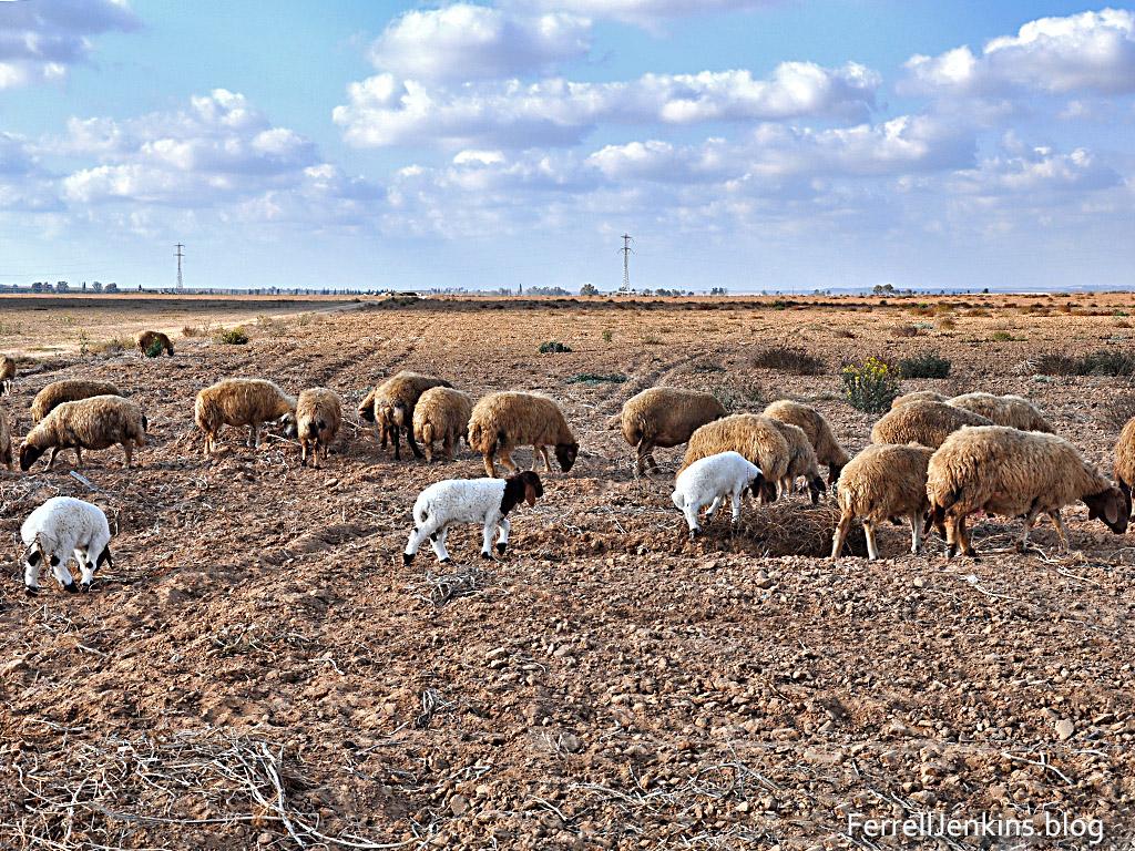 "Recently born lambs ""as white as snow"" (Isaiah 1:18). FerrellJenkins.blog."