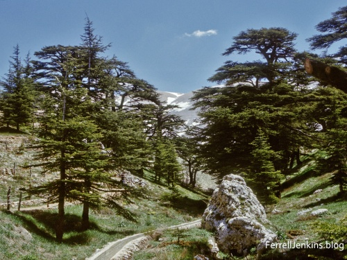 The Cedars of Lebanon. ferrelljenkins.blog.