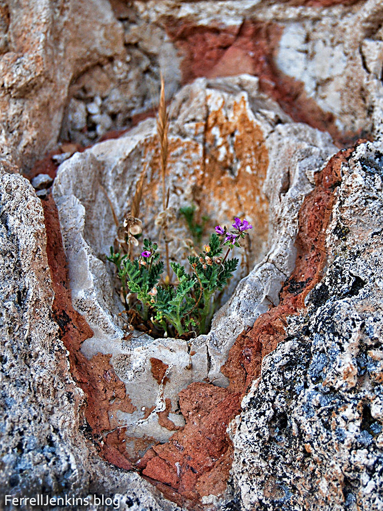 Some fern, grain and tiny flowers grown in the calcified pipe that once brought water to Laodices. Photo: ferrelljenkins.blog.