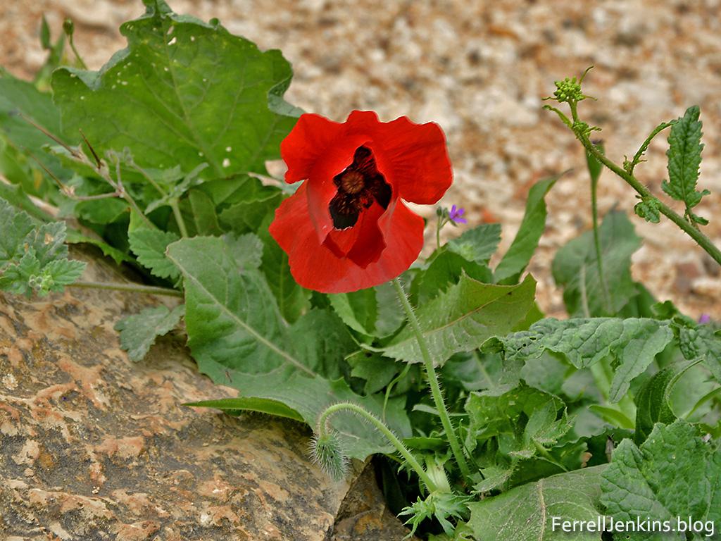 Spring flower on Mount Gilboa. Photo: ferrelljenkins.blog.