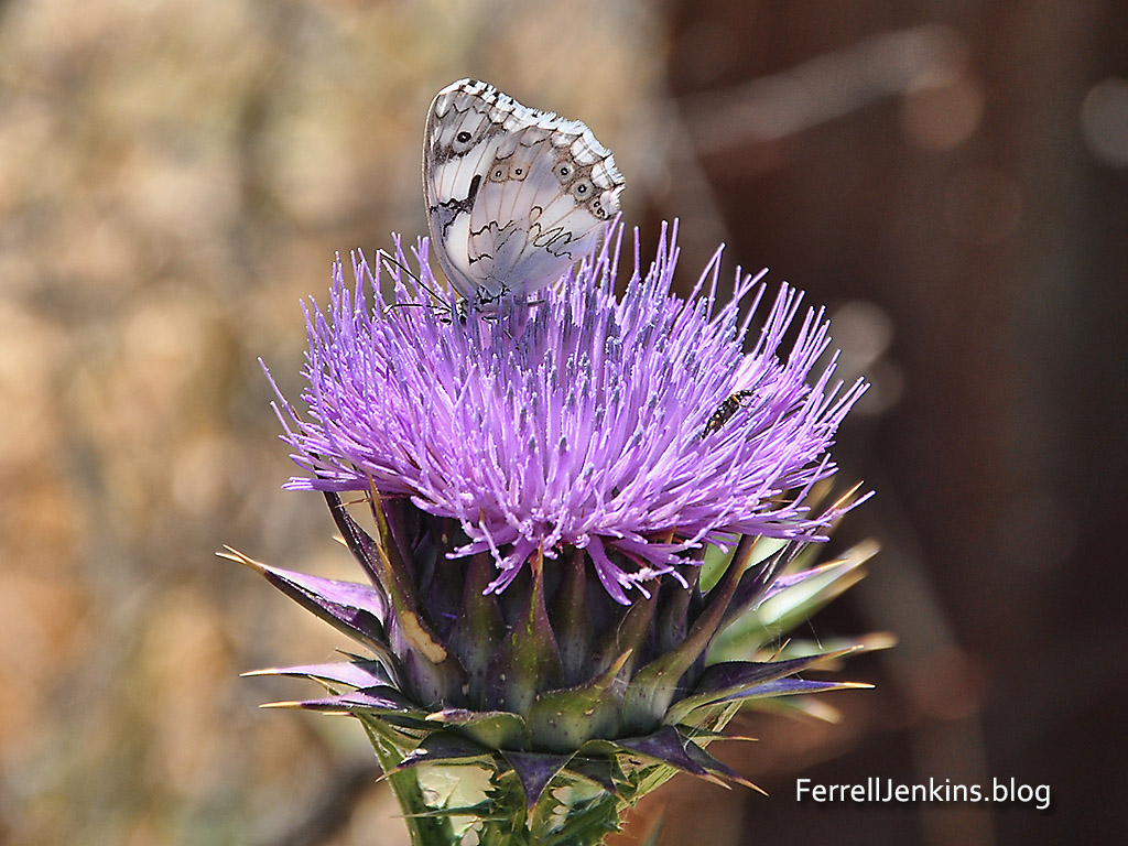 Butterfly, thistle, insect near Tel Goded. Photo: ferrelljenkins.blog.